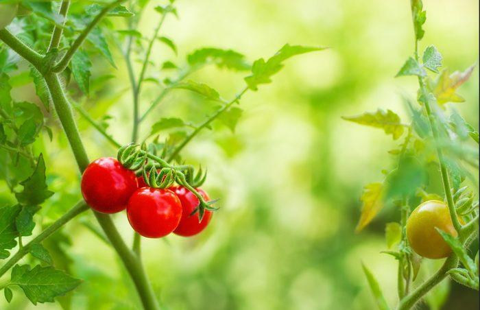tomatoes-growing-on-vine