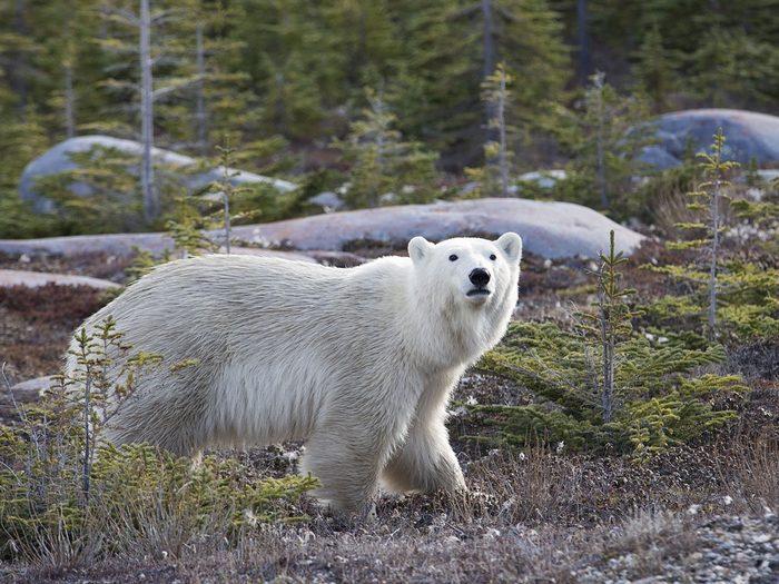 Manitoba polar bear